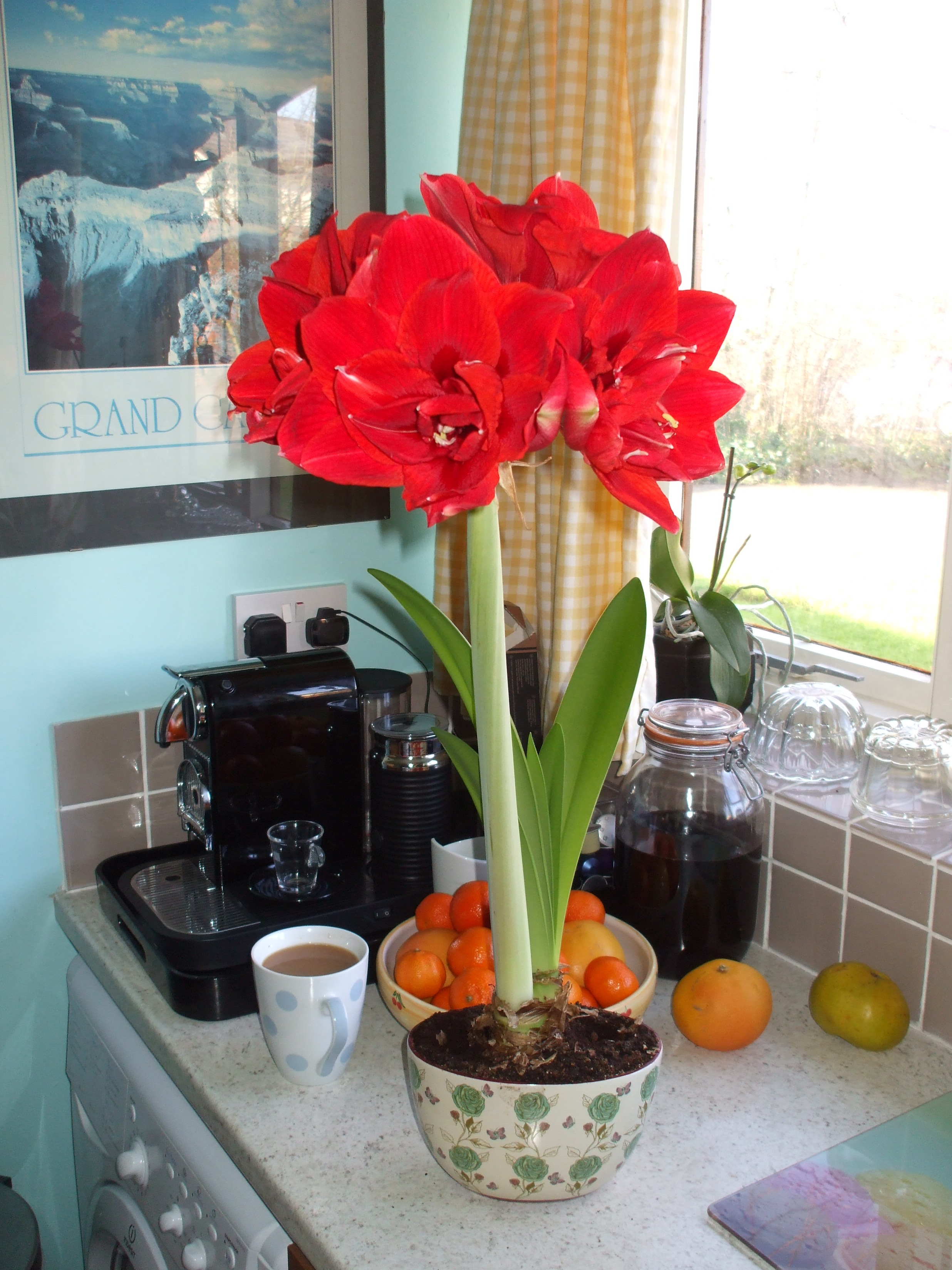 Grandmas amaryllis ghostly toms travel blog there was a big bud that began to open on the day of grandmas funeral and now a week later it is fully open its spectacular izmirmasajfo